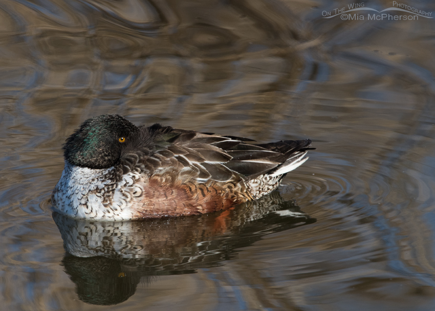Drake Northern Shoveler in eclipse plumage