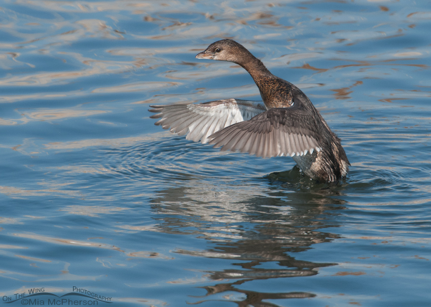 Another Pied-billed Grebe flapping its wings