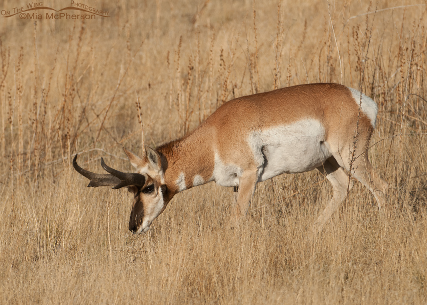 A Pronghorn buck in Rut