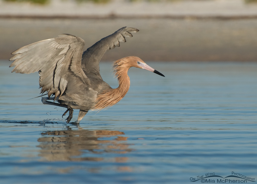 A week later... oil is still visible on the Reddish Egret