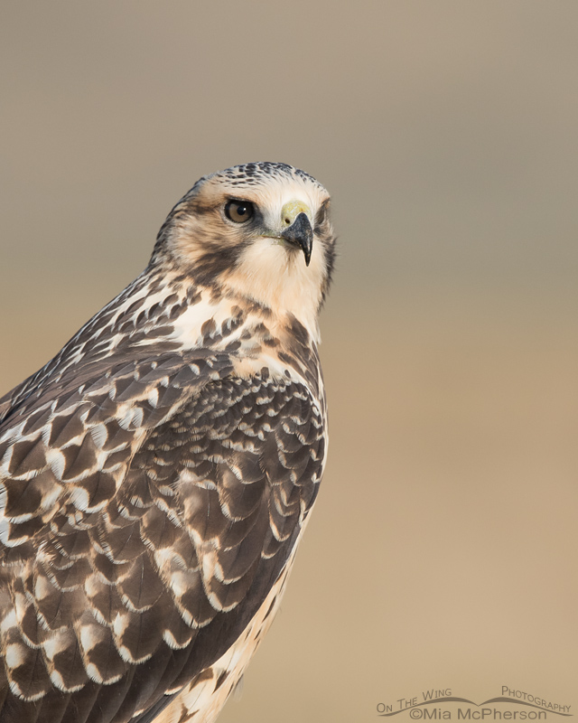 Portrait of a juvenile Swainson's Hawk