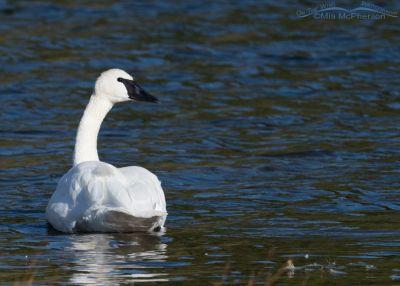 Trumpeter Swan keeping an eye on me