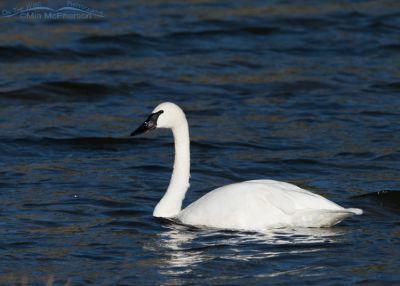 Trumpeter Swan in Montana
