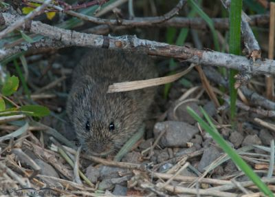 A vole at Cliff Lake, Montana