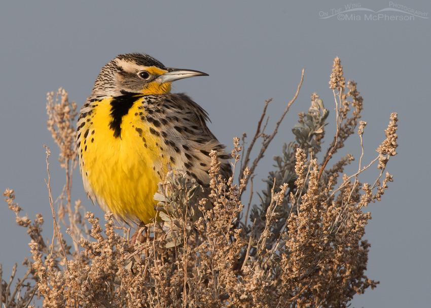 Western Meadowlark in early morning light