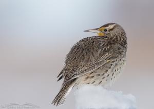 Winter time portrait of a Western Meadowlark
