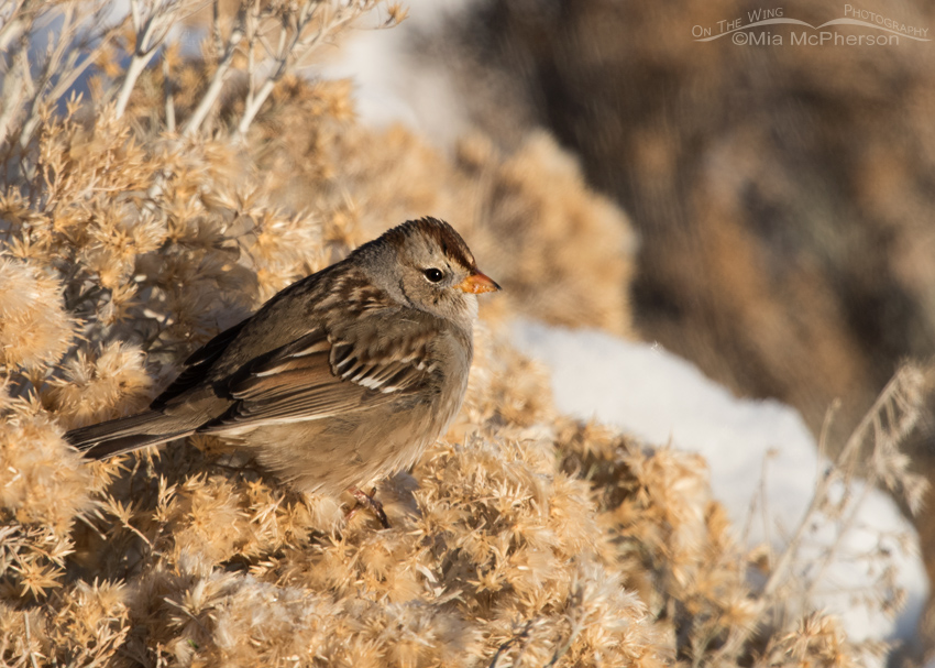 Juvenile White-crowned Sparrow on a snow-covered Rabbitbrush