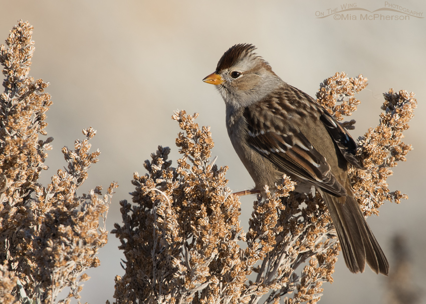 Juvenile White-crowned Sparrow feeding on sagebrush seeds
