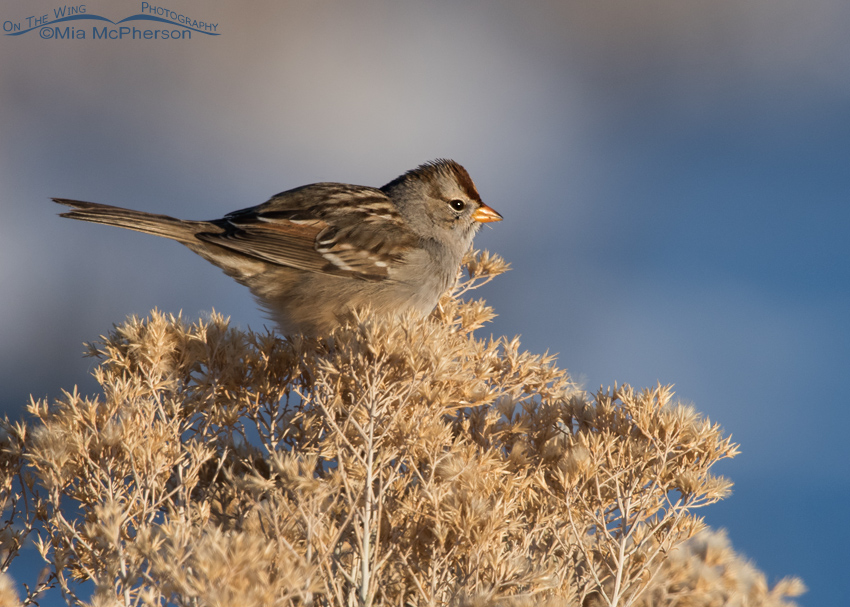 White-crowned Sparrow on New Years Day 2015