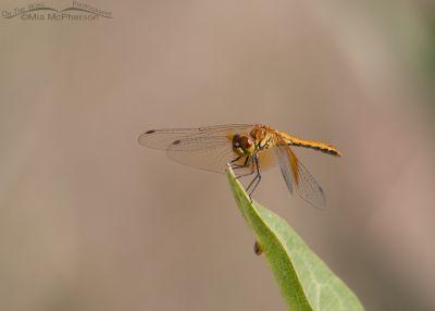 Saffron-winged Meadowhawk?