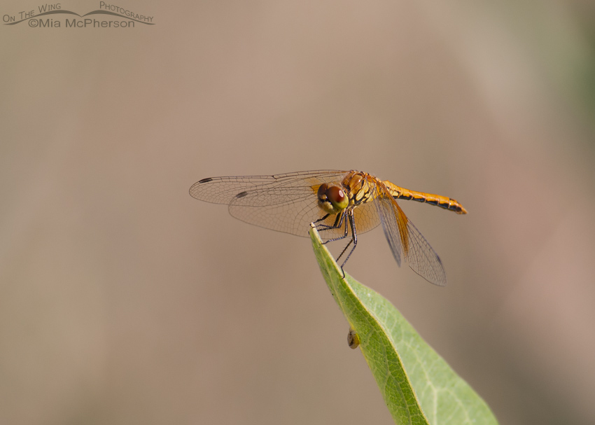 Saffron-winged Meadowhawk Dragonfly Images