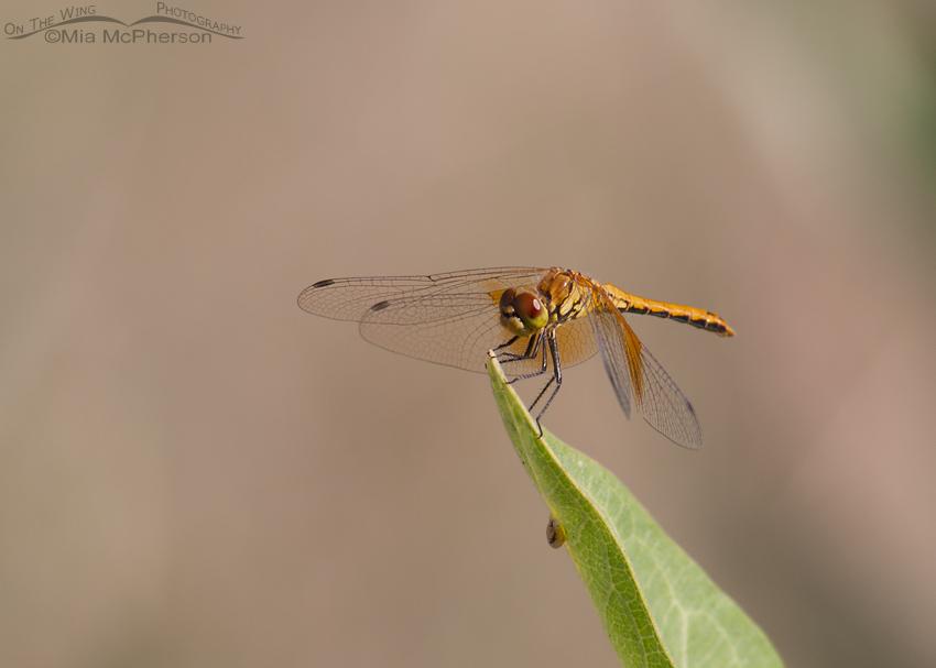 Saffron-winged Meadowhawk Images