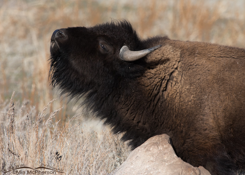 American Bison cow scratching her neck