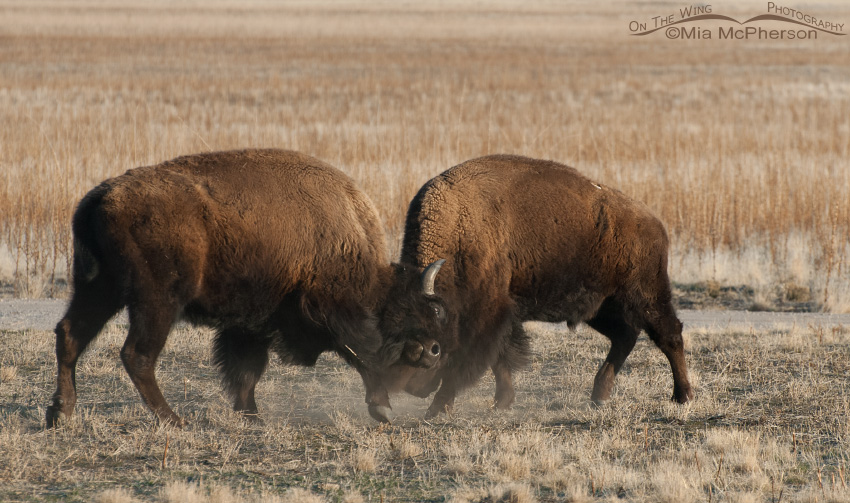 Bison feeling their oats