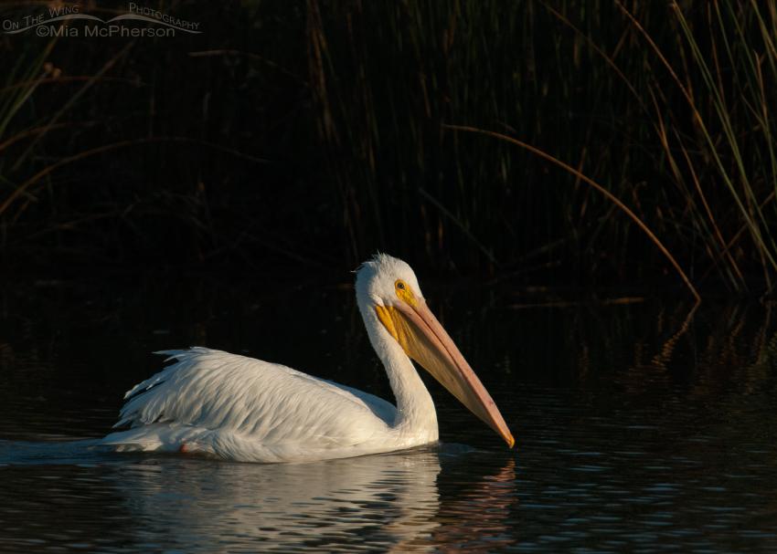 American White Pelican in the spotlight