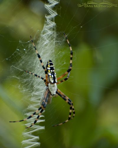 Black-and-yellow Garden Spider and its web