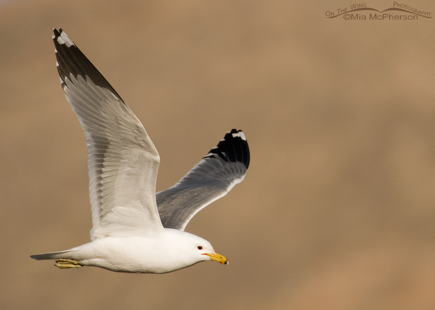 California Gull On The Wing