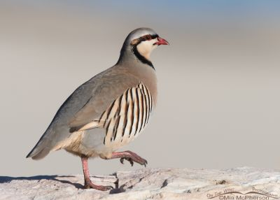 Bright-eyed Chukar