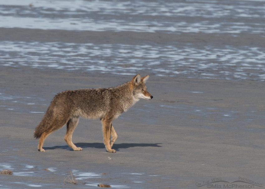 Adult Coyote on the mudflats