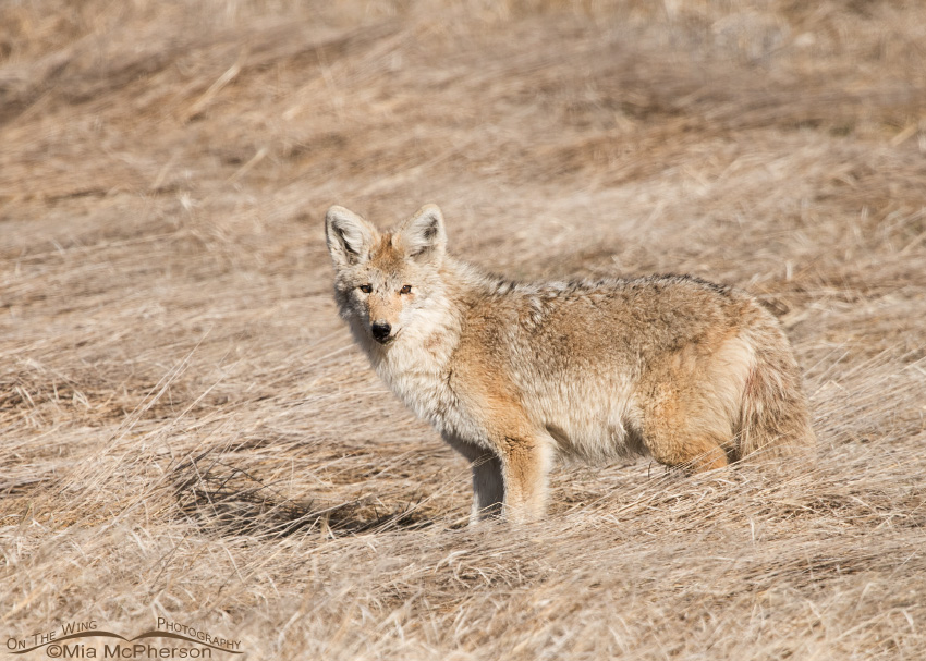 Pale male Coyote in marsh grasses