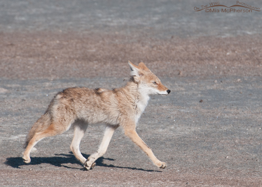 Young Coyote on the move