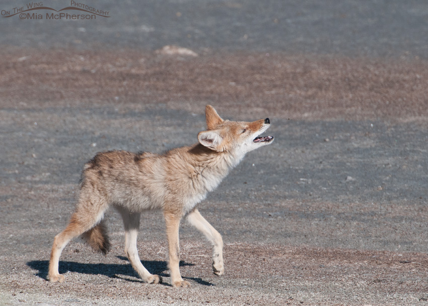 Young Coyote snapping at a deer fly