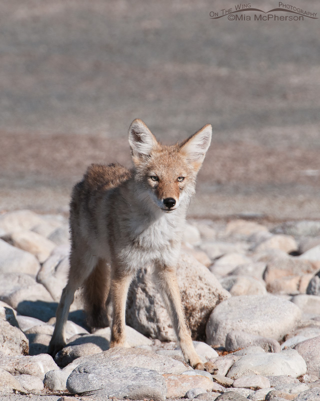 Curious young Coyote
