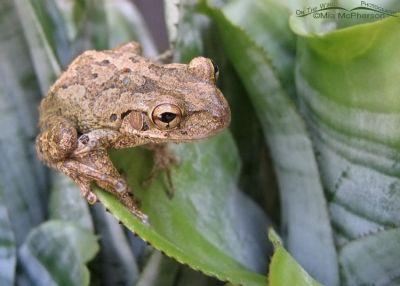 Cuban Tree Frog Close Up