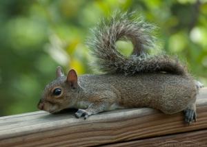 Resting Eastern Gray Squirrel