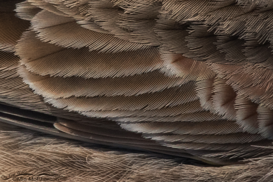 Close up of a Horned Lark