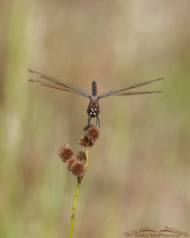 Four-spotted Pennant Dragonfly Images