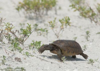 Gopher Tortoise on the go