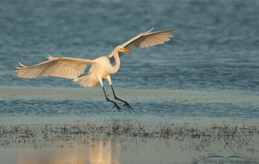 Landing Great Egret in golden morning light