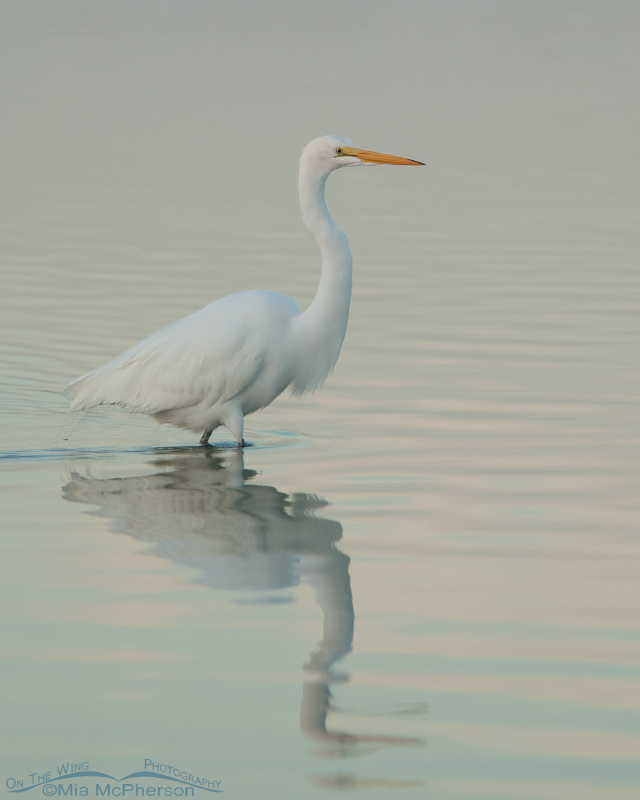Great Egret in pastel predawn light