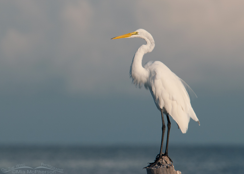 A Great Egret and a stormy sky