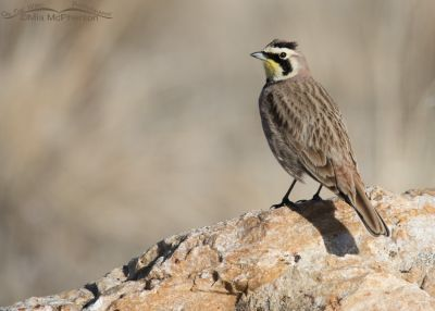 Male Horned Lark perched on Tintic Quartzite