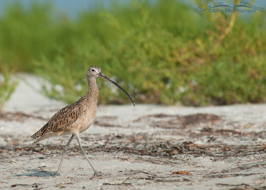 Long-billed Curlew in winter habitat