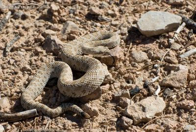 Midget Faded Rattlesnake full body