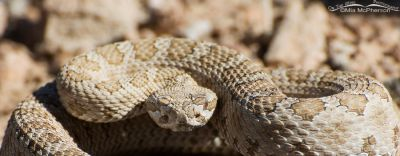 Midget Faded Rattlesnake headshot