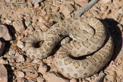 Midget Faded Rattlesnake close up