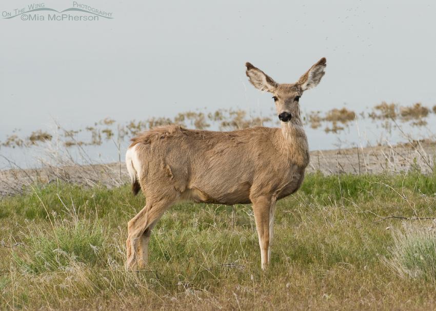 Doe Mule Deer next to the Great Salt Lake