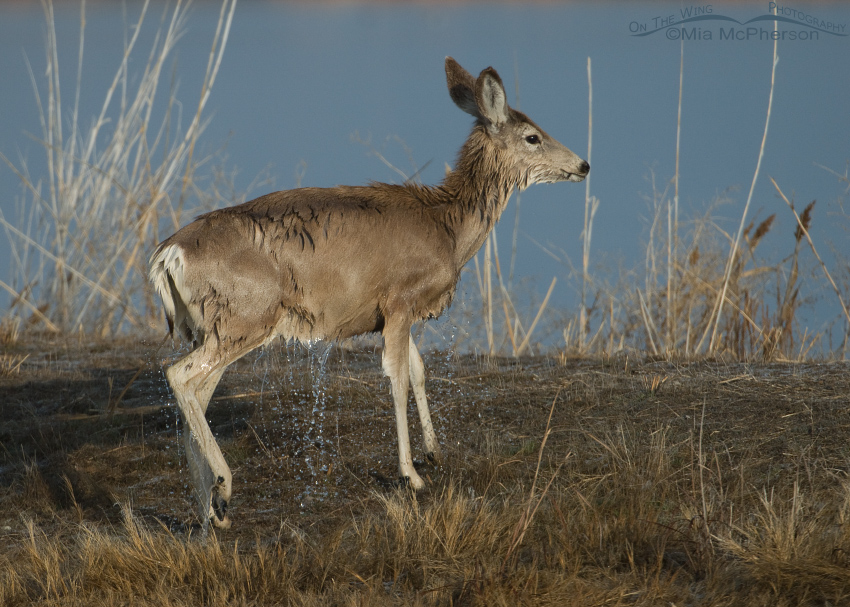 Mule deer shaking off after swimming