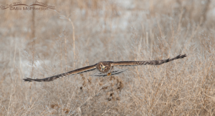 Northern Harrier pano