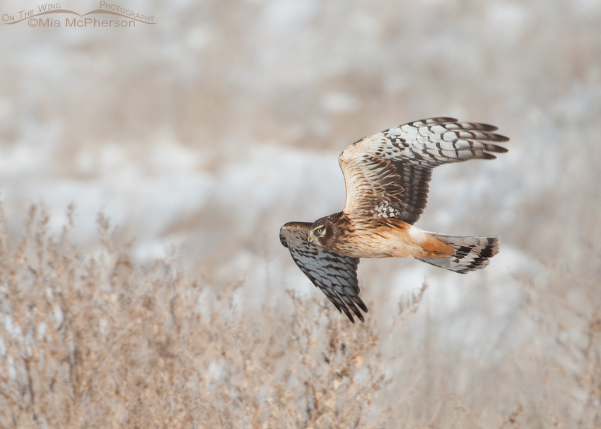 Northern Harrier and a frosty marsh habitat