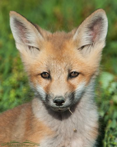 Fox kit - closeup portrait