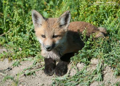 Red Fox kit - full body close up