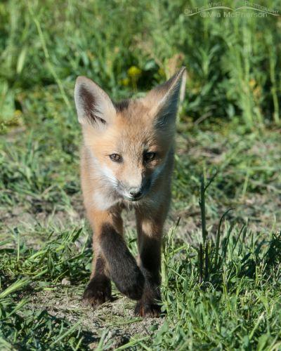 Red Fox kit on the move, Bear River Migratory Bird Refuge, Box Elder County, Utah