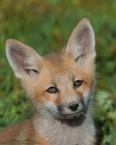 A curious Red Fox kit