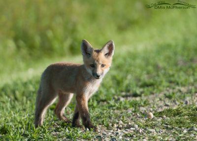 Standing Red Fox kit