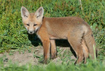Fox kit standing